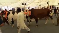 Sibbi Bhugnaari Heaviest Bull Bakra Eid 2015 Ldfa