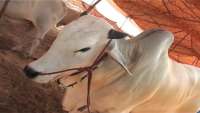 Beautiful Sibbi Cow For Eid Ul Azha - Sibi Qurbani Bulls 2015