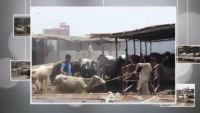 Giant Qurbani Cow, Bulls, Sibbi, Sahiwal Bachre Rabbani Cattle New 2015