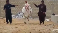Heaviest White Nakhra Jinnah Cattle Farm 2015