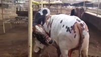 Qurbani Bulls Karachi Cattle Farm 2015