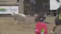 The Sheep's Show You Wouldn't Have Seen Before