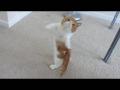 Cute Dancing Kitten