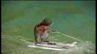 Squirrel Waterskiing