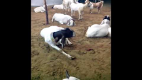 Bakra Mandi By Lasania Cattle Farm