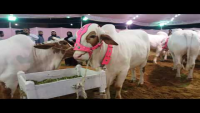 Buksh Cattle Farm At Maweshi Mandi