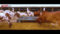 786 Cattle Farm Full Video 2017