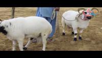 Nayab Nasal Kai Dunbay In Karachi Maweshi Mandi