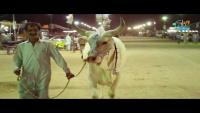 Karachi Cow Mandi 2017