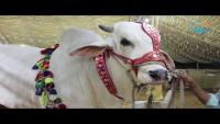 Heaviest Sibbi Bull In Karachi Maweshi Mandi 2017