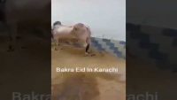 Kick Check Karen is Cow Ki