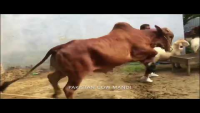 Is Cow Ne Tou Sub Ko Kench Dia