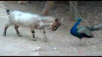 Goat and Peacock Fighting