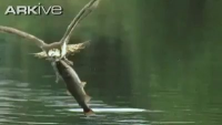 Eagle catches Fish - Amazing Video, Don't Miss