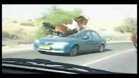Running Horse Jump on Car