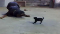 Kitten VS Dog