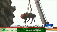 Cow Lifted Down By Crain from 5th Floor In Karachi