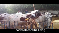 Bull unknoted the rope - escape trick