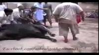 Qurbani Kay Baad Bail Faarar