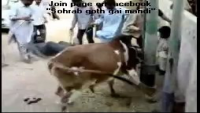 Cow's Kick on Face