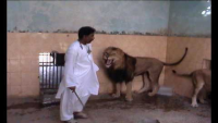 Teasing Lions in Pakistan
