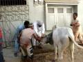 Dastagir Bull Bhai Log