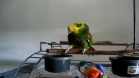 Crying Parrot