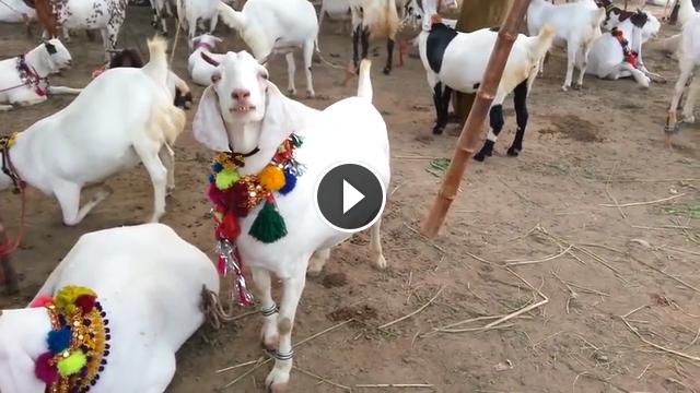 Bakra Eid 2019 Videos - Bakra Mandi & Sohrab Goth Gai Mandi