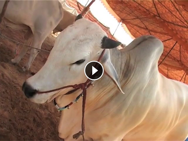kohat cow mandi 2015 - Hamariweb Videos